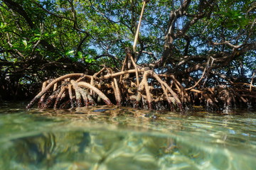 Mangrove tree Rhizophora mangle in the water