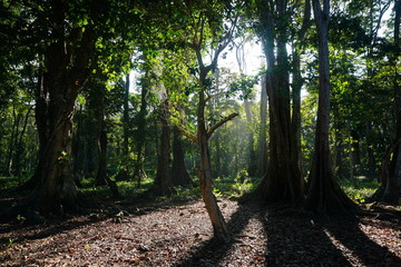Tropical trees in forest of Costa Rica
