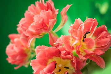 red double peony tulip