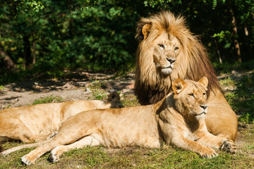 Lion with lion female sits and observes.