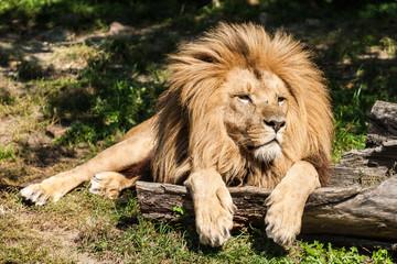 Lying lion.