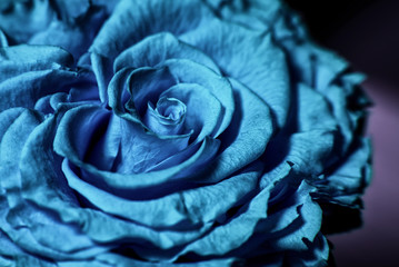 Close up of blue rose