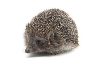 Hedgehog close-up isolated on white background