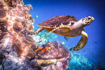 Photo sur Plexiglas Tortue Hawksbill Turtle - Eretmochelys imbricata