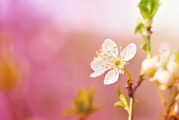 Spring cherry blossom close-up with warm filter