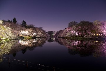 Tokyo,cherry blossoms in night,Pink,reflection of the pond.