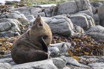 Obraz New Zealand Fur Seal (Arctocephalus forsteri) scratching it's ne - fototapety do salonu
