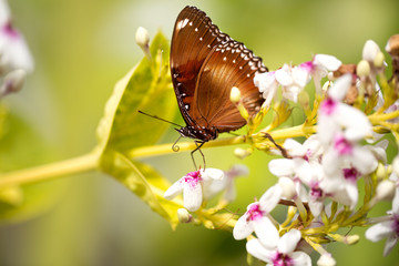 beautiful spotted butterfly