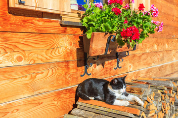 Cat sleeping on wood logs in Dolomites Mountains, Italy