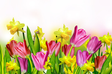 pink and yellow tulips.narcissus