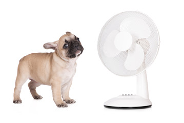 adorable french bulldog puppy with a fan