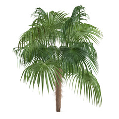 Palm tree isolated. Zombia antillarum