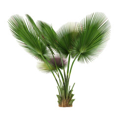 Palm tree isolated. Copernicia baileyana