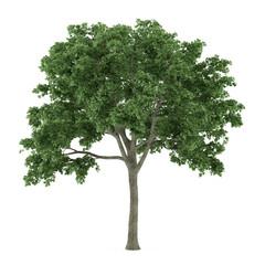 Tree isolated. Ulmus