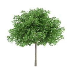 Tree isolated. Robina pseudoacacia