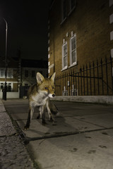 Young fox in London street
