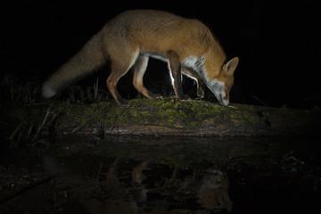 Red Fox - Vulpes ulpes