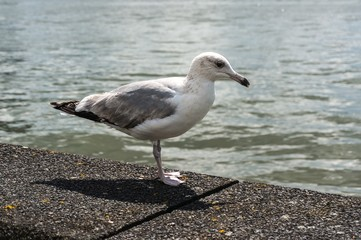 Seagull stand by the sea