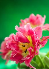 pink double peony tulip