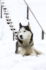 Siberian Husky lying in the snow in the winter