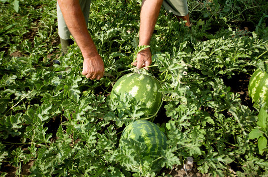 farmer harvested watermelons