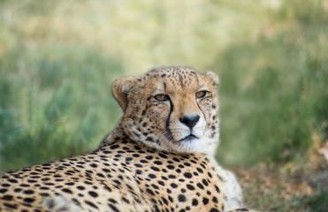 lieing cheetah