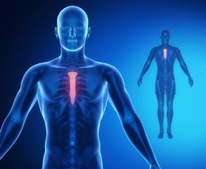 STERNUM bone anatomy x-ray scan