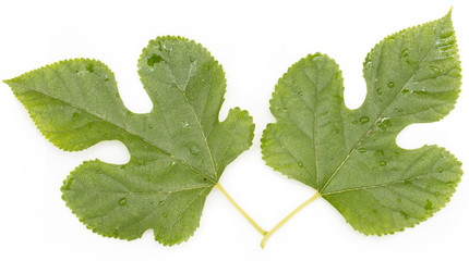 mulberry green leaves on a white background