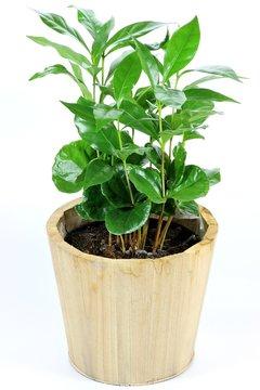 getopfte Kaffeepflanze isoliert auf weißem Hintergrund