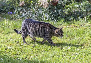 tiger cat strolls around in the garden under the sun