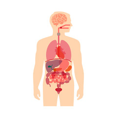 human body anatomy, vector medical organs system,