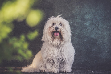 small white long haired dog portrait - grunge effect