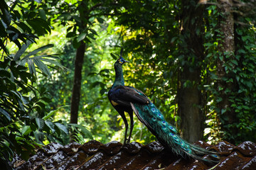Wonderful Peacock on the roof top in Chanthaburi