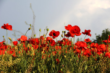 Foto op Plexiglas Klaprozen Red poppies against the blue sky