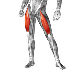 Conceptual 3D human front upper leg muscle anatomy