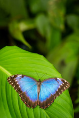 Tropical blue butterfly with green background