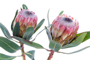 Two Protea flower on a white background