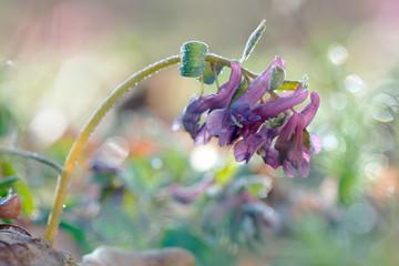 Spring Fumewort in frost