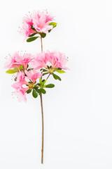 Aluminium Prints Azalea Pink flowering azalea branch