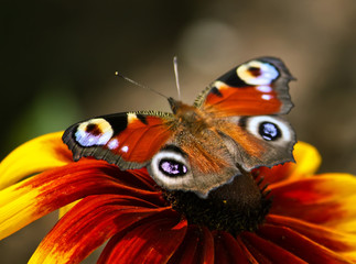 Butterfly on rudbeckia flower