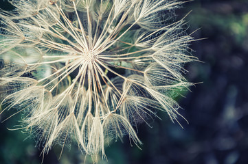 Poster de jardin Bestsellers Macro image of big beautiful dandelion