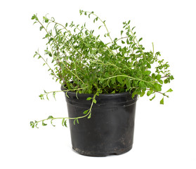 marjoram in a pot isolated on white