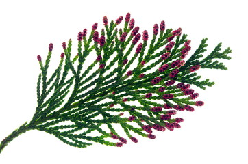 thuja branch with flowers Wall mural