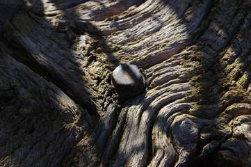 Alte Schraube in knorrigem Eichenholz 3