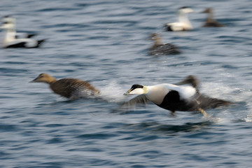 Flying Eider duck taking of from water.