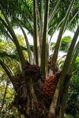 Ripe palm oil in tropical garden