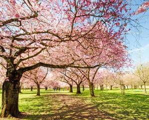 Wall Mural - Japanischer Kirschblütentraum im Frühling :)