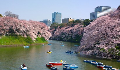 Cherry blossom in Chidorigafuchi tokyo japan