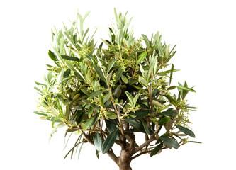 Olivenbaum im eigenen Garten