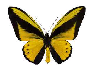 yellow single large isolated butterfly